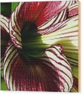 Red Striped Lily Wood Print