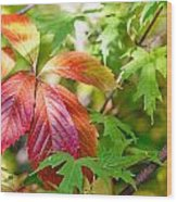 Red Viginia Creeper And Maple Leaves Wood Print