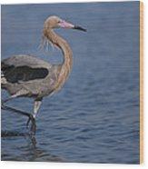 Reddish Egret Wading Texas Wood Print