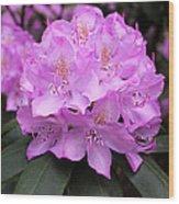 Rhododendron  ' Roseum Elegans ' Wood Print