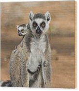 Ring-tailed Lemur And Baby Madagascar Wood Print