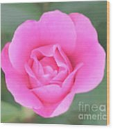 Rose. Wood Print by Sylvia  Niklasson