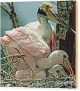 Roseate Spoonbill Adult With Young Wood Print