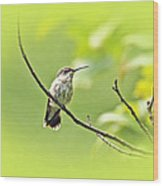 Ruby-throated Hummingbird - Immature Female - Archilochus Colubris  Wood Print
