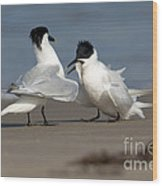 Sandwich Tern Bringing Fish To Its Mate Wood Print