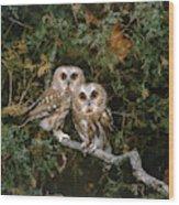 Saw-whet Owls Wood Print