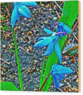 Scilla In New Maiden Cemetery In Moscow-russia  Wood Print