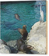 Seaworld Sea Lions Wood Print