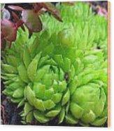 Sempervivum Tectorum Wood Print