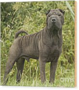 Shar Pei Dog Wood Print