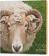Sheep With Horns Wood Print