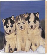Siberian Husky Puppies Wood Print