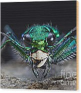 Six-spotted Green Tiger Beetle Wood Print