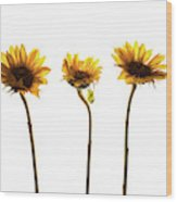 Small Sunflowers Or Helianthus Wood Print
