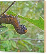 Snowberry Clearwing Hawk Moth Caterpillar - Hemaris Diffinis Wood Print