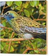 Sparkling Violet Ear Hummingbird Wood Print