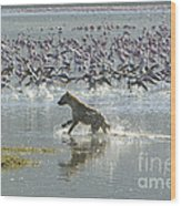 Spotted Hyaena Hunting For Food Wood Print