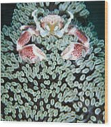 Spotted Porcelain Crab In Anemone Wood Print