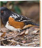 Spotted Towhee Pipilo Maculatus Wood Print