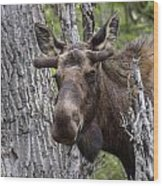 Spring Bull Wood Print