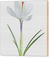 Spring Crocus Flower Wood Print