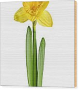 Spring Yellow Daffodil Wood Print