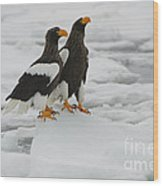 Stellers Sea Eagles Wood Print