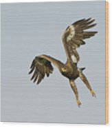 Steppe Eagle Aquila Nipalensis Wood Print