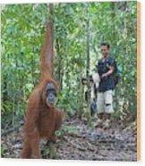 Sumatran Orangutan Wood Print