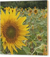 Sun Flower Fields Wood Print