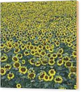 Sunflower Nirvana 13 Wood Print