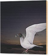 Swallow-tailed Gull Departs At Dusk Wood Print