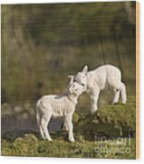 Sweet Little Lambs Wood Print