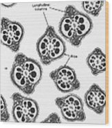 Tem Of Chinese Hamster Spermatozoa Wood Print