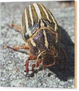 Ten Lined June Beetle Wood Print
