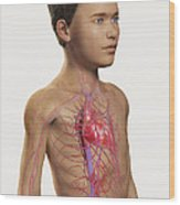 The Cardiovascular System Pre-adolescent Wood Print
