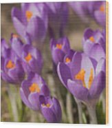 The Crocus Flowers Wood Print