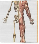 The Human Skeleton And Muscular System Wood Print