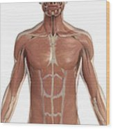 The Muscles Of The Torso Wood Print
