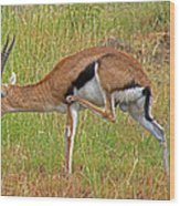 Thomson's Gazelle Wood Print