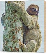 Three-toed Sloth Bradypus Tridactylus Wood Print