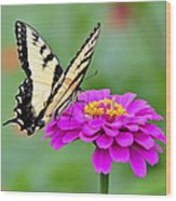 Tiger Swallowtail Butterfly On Zinnia Wood Print