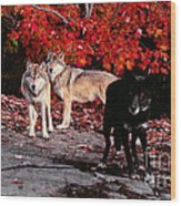 Timber Wolves Under  A Red Maple Tree Wood Print