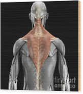 Trapezius Muscle With Skeleton Wood Print