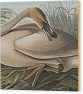 Trumpeter Swan Wood Print by John James Audubon