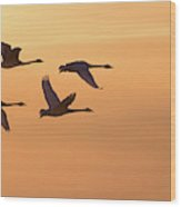 Trumpeter Swans In Flight At Sunset Wood Print