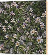 Tulipa Saxatilis Ssp. Bakeri Wood Print