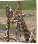 Two Reticulated Giraffes  - Giraffa Camelopardalis Wood Print