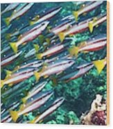 Two-spot Banded Snappers Wood Print