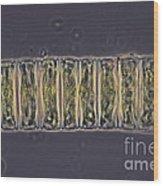 Ulothrix Sp. Algae, Lm Wood Print